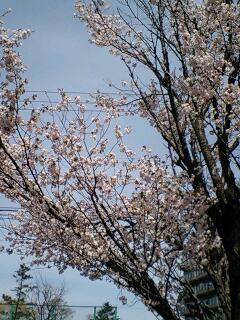 札幌も開花